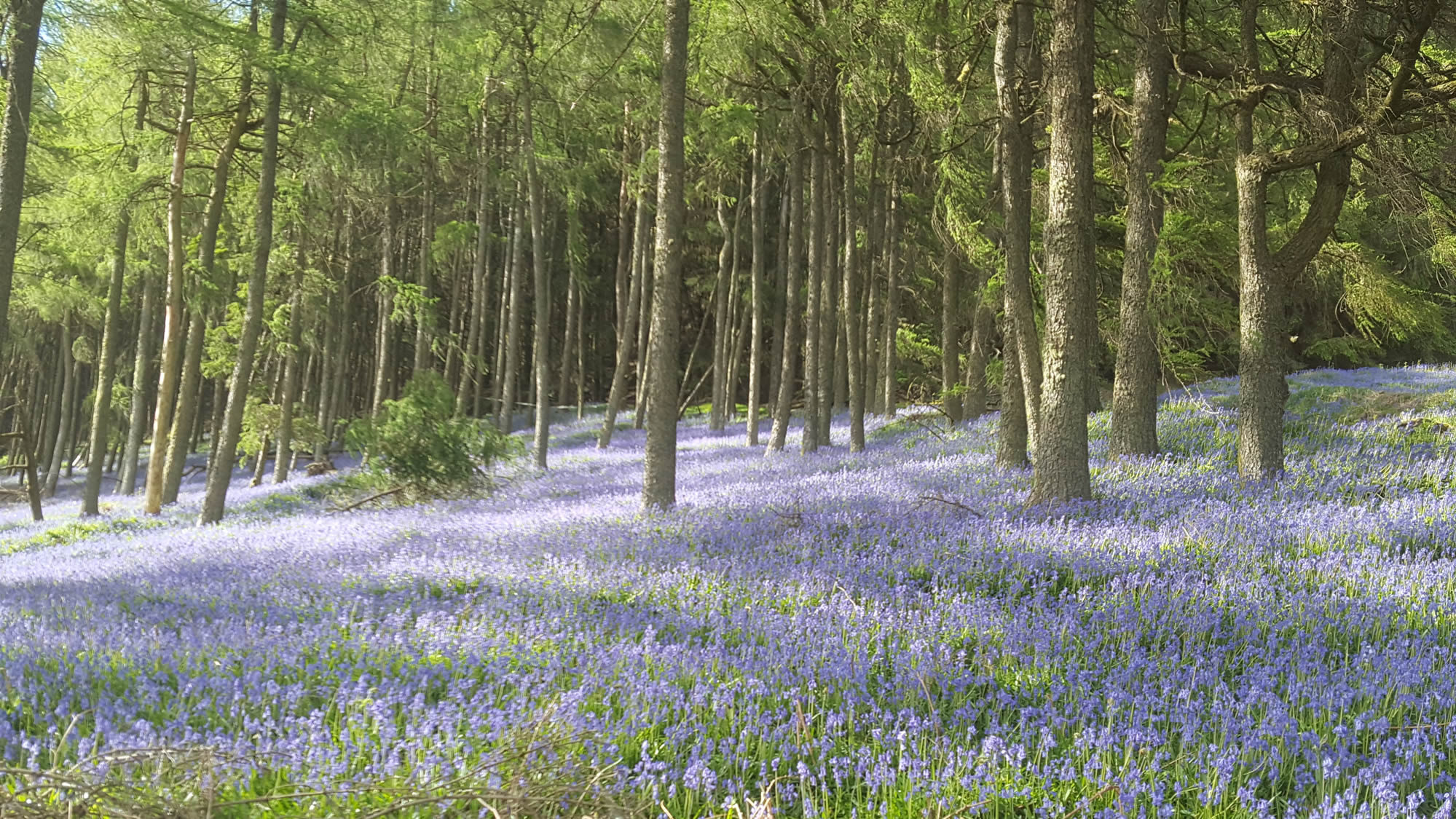 Dragons Back Race - bluebell wood